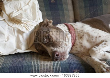 Sleepy, spoiled bird dog resting indoors on couch