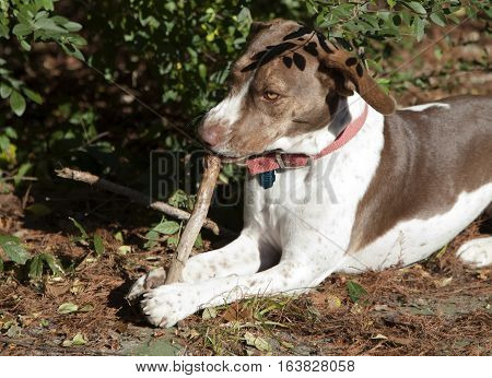 Bird dog concentrating on chewing a stick outside