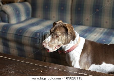 Bird dog standing by dusty coffee table