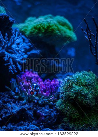Entacmaea quadricolor (Bubble tip anemone, Corn anemone) and Amphiprion ocellaris (Ocellaris Clownfish). Gorgonaria Euplexaura sp. Sea Fan. Clavularia. Reef tank marine aquarium. Night view.