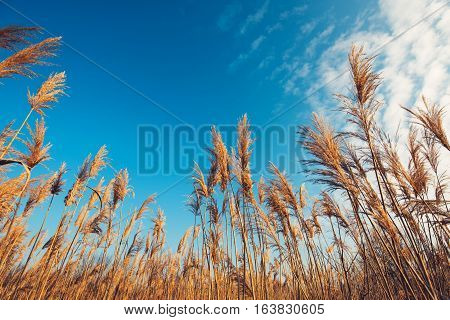 Dry bulrush reed on sunny winter day low angle