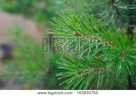 green pine branches with drops of dew in the Park.