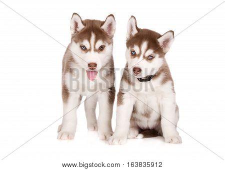 two siberian husky puppies posing on white