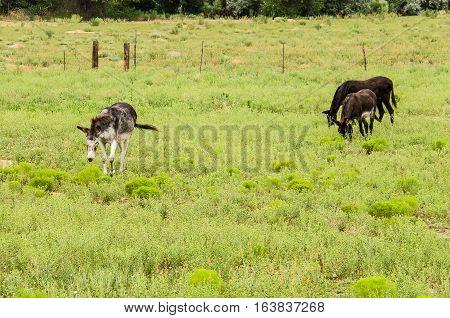 Donkeys grazing on green pasture in desert