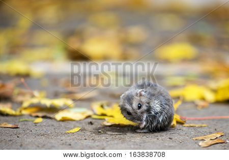 wet hamster sitting outdoor with autumnal leafs