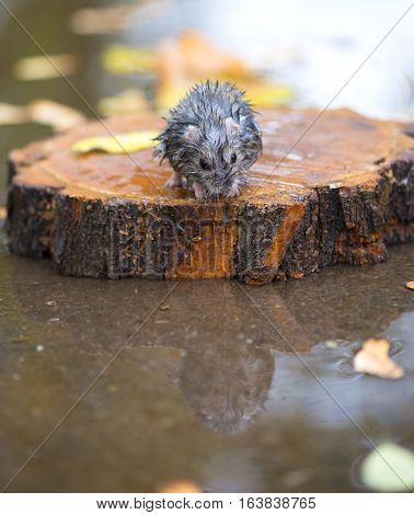 wet and frozen hamster sitting on a piece of wood in the middle of water