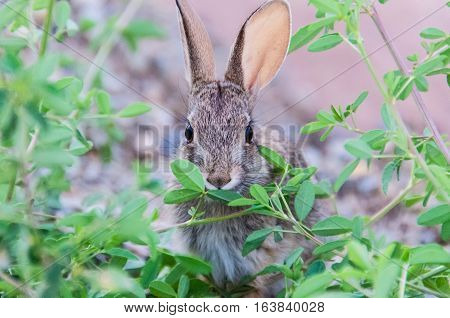 Cute wild desert cottontail rabbit with big ears eating green plants