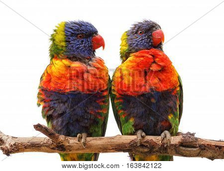 Two rainbow lorikeet Trichoglossus haematodus sitting on a branch, isolated over white background