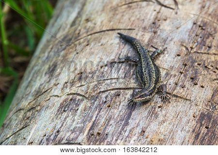 Lizard on a log. Lizard basking. Fauna Mologa River.