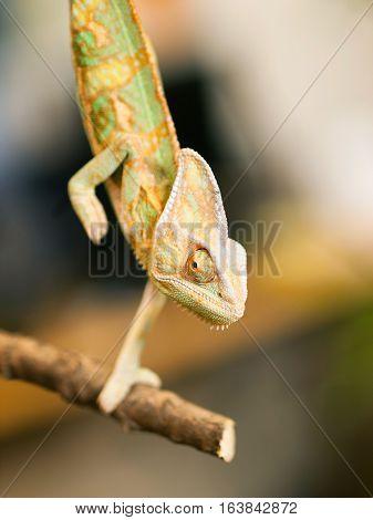 Young Yemen chameleon on the branch - Chameleo calyptratus