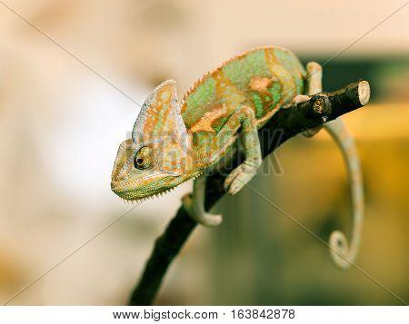 Portrait of Cone-head chameleon on the branch - Chameleo calyptratus