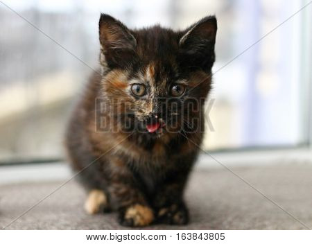 A tortoiseshell kitten sticking out it's tongue