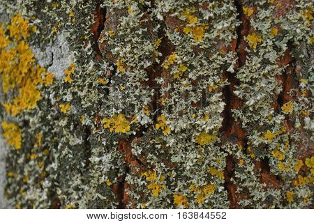 multi-colored moss on the bark of an old lime tree