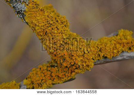 lone aspen tree branch covered with yellow moss