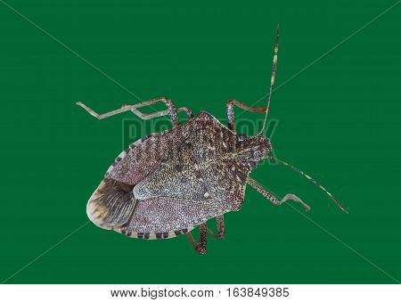 Brown Marmorated Stink Bug Insect Animal
