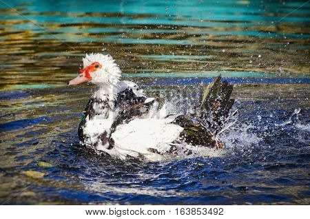 Photo of Swimming Single Duck In Sunny Day