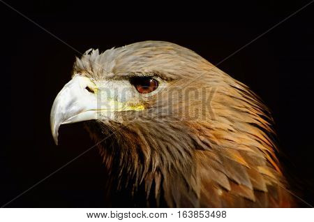 Portrait of Tawny Eagle (Aquila rapax) Over Dark Background