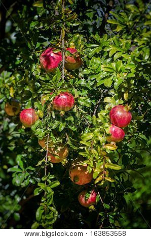 Red Pomegranate Harvest at Tree in Sunny day