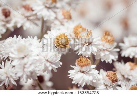 Macro shot of pearly everlasting white flowers