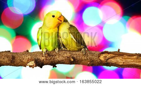 close up lovebird on Blurred fairy lights background