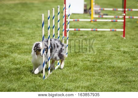Agility Dog doing weave poles slalom in grass