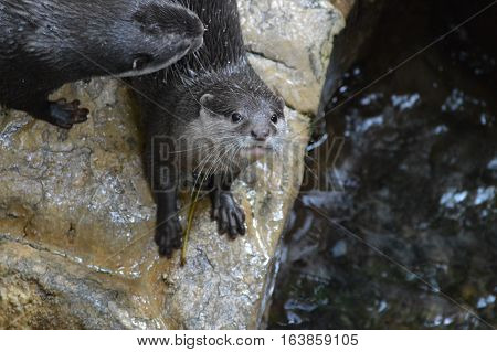 A curious river otter in the outdoors