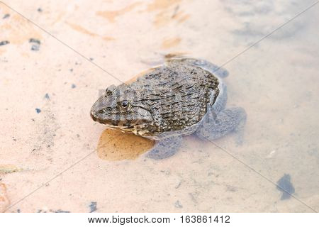 Common Lowland frog in water / Rana rugulosa Wiegmann