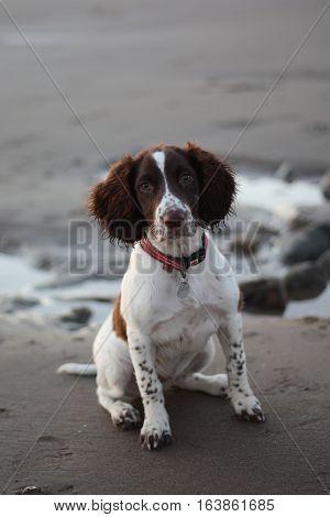 Cute Working Type English Springer Spaniel Pet Gundog On A Sandy Beach