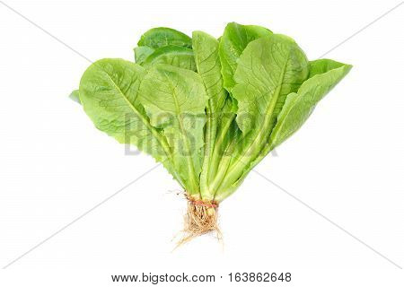 Cos Romaine Lettuce / Fresh vegetable isolated