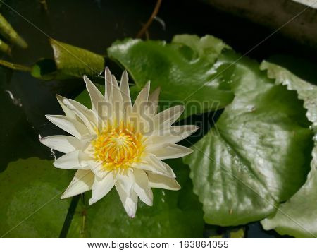 White Lotus or waterlily is blooming in the garden