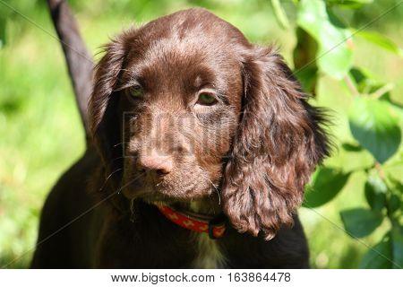 Very Cute Smal Liver Working Cocker Spaniel Pet Gundog