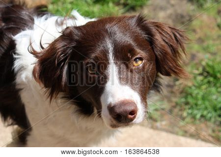 Cute Handsome Liver And White Sprollie Springer Collie Cross Pet Dog