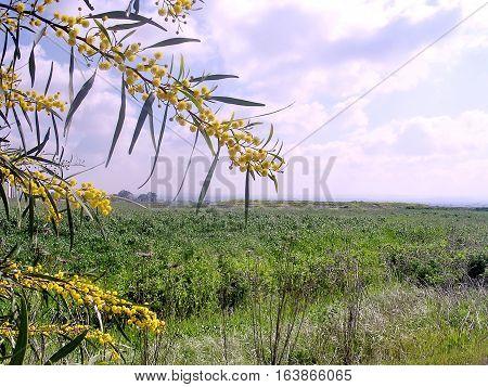 Mimosa branchs in Or Yehuda Israel March 18 2005