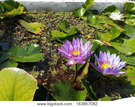 Two purple waterlilies in the pond. Twin lotus under sunlight.