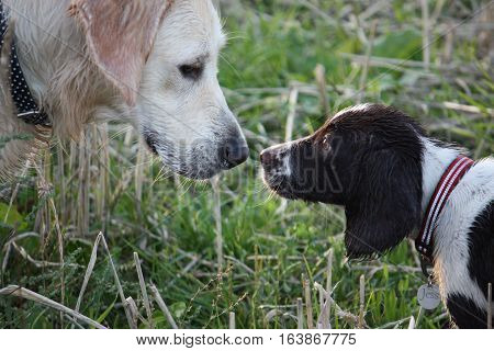 Springer Spaniel And Golden Retreiver Pet Gundogs Friends Kissing