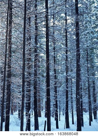 Snow covered branches on ponderosa pine trees that survived a fire are illuminated by the morning sun on a winter day in Central Oregon.