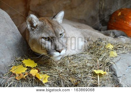 An adult puma sleeping in a cave