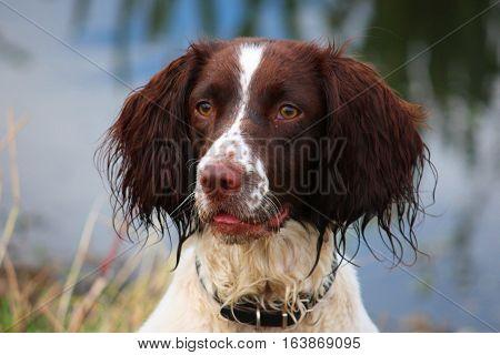 A Very Wet Working Typee English Springer Spaniel Pet Gundog