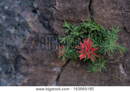 Red Indian Paintbrush growing from a crack in a granite cliff.