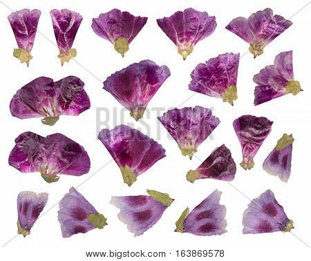 Dried and pressed flowers. Herbarium of purple flowers. Set of Godetia flower isolated