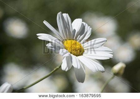 Tanacetum Cinerariifolium, Pyrethrum Of Commerce, Facing The Rig