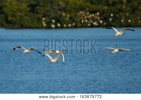 White Ibises (Eudocimus albus) in flight above water