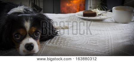 King Charles Cavalier dog. Shot in Denmark
