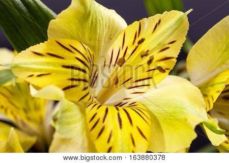 Flowers of yellow blooming alstroemeria on dark background.