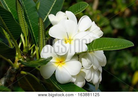 Close-up of White plumeria flowers on a tree
