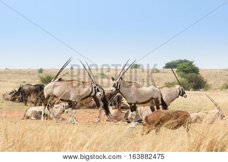 Gemsbok herd( Oryx Gazella) in the savanna