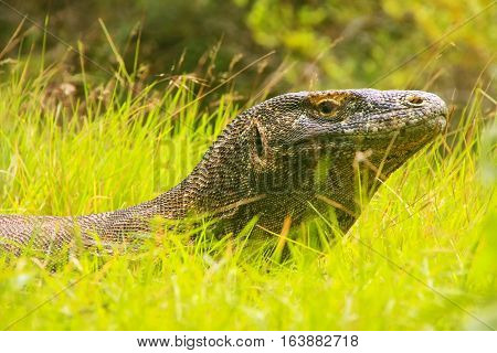 Portrait Of Komodo Dragon Lying In Grass On Rinca Island In Komodo National Park, Nusa Tenggara, Ind