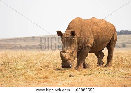 White rhinoceros (Ceratotherium simum) close up photograph