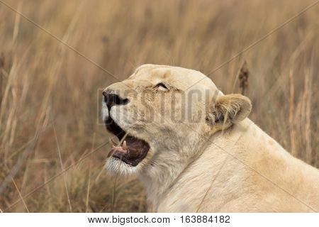 White lion (Female) [Panthera leo] lying in the morning sunlight