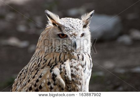 Eurasian Eagle-Owlis, Bubo bubo. It is a species of eagle owl resident in much of Eurasia